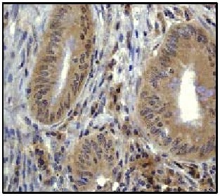 Immunohistochemistry (Formalin/PFA-fixed paraffin-embedded sections) - Anti-TRAF6 antibody [EP591Y] (ab33915)