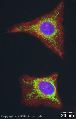 Immunocytochemistry/ Immunofluorescence - Anti-COX IV antibody [mAbcam33985] - Mitochondrial Marker (ab33985)