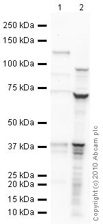 Western blot - Anti-DAZL antibody (ab34139)