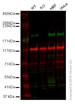 Western blot - Anti-Caspr antibody (ab34151)