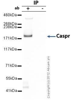 Immunoprecipitation - Anti-Caspr antibody (ab34151)