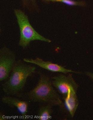 Immunocytochemistry/ Immunofluorescence - Anti-NQO1 antibody (ab34173)