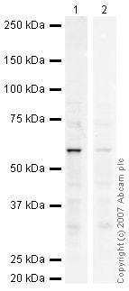 Western blot - Anti-SMYD1 antibody (ab34472)