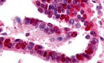 Immunohistochemistry (Formalin/PFA-fixed paraffin-embedded sections) - Anti-E1 Ubiquitin Activating Enzyme 1/UBA1 antibody (ab34711)