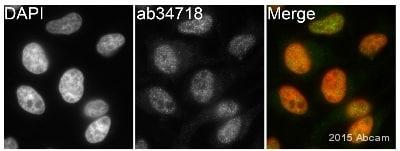 Immunocytochemistry/ Immunofluorescence - Anti-KDM5C / Jarid1C / SMCX antibody (ab34718)