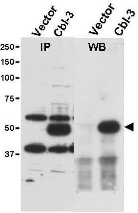 Western blot - Anti-Cbl-c antibody (ab34750)