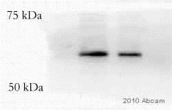 Western blot - Biotin Anti-VSV-G tag antibody (ab34774)