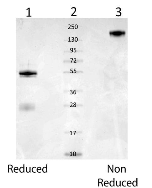 Western blot - Anti-Mouse Serum Albumin antibody (ab34807)