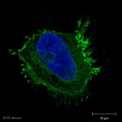 Immunocytochemistry/ Immunofluorescence - Anti-CD81 antibody [1D6] - Low endotoxin, Azide free (ab35026)