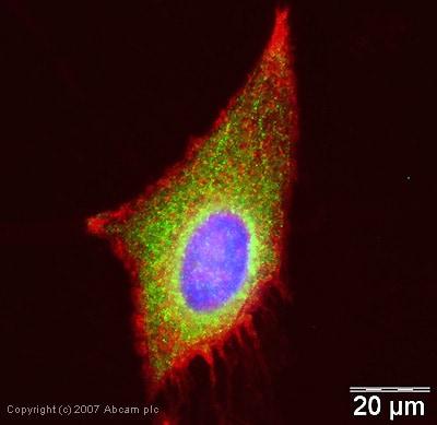 Immunocytochemistry/ Immunofluorescence - Anti-WNK1 antibody (ab35069)