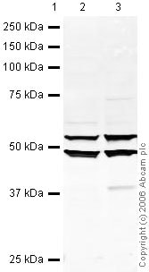 Western blot - Anti-EBP1 antibody (ab35424)