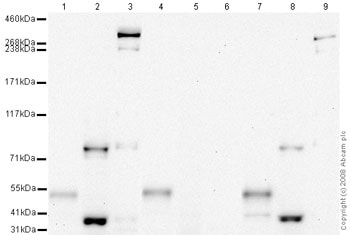 Western blot - Anti-MDC1 (phospho T4) antibody (ab35967)