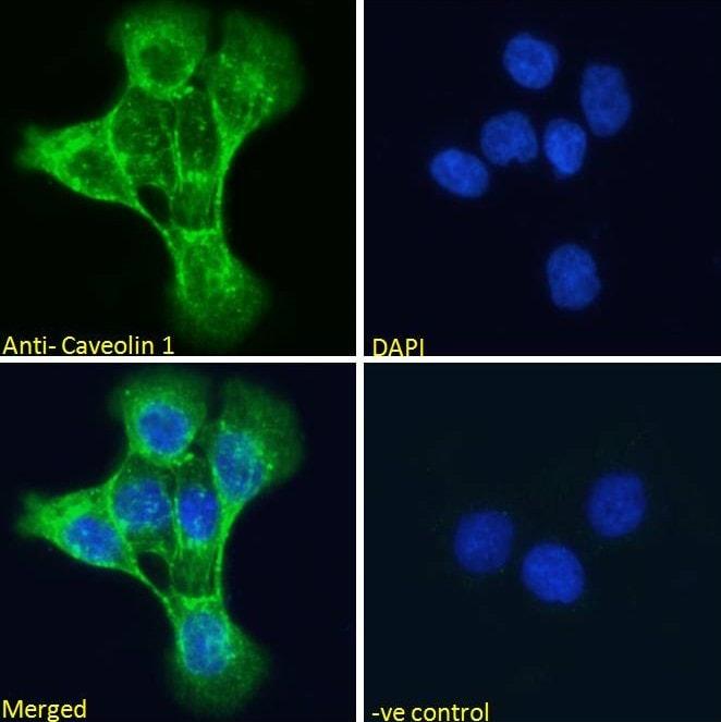 Immunocytochemistry - Anti-Caveolin-1 antibody (ab36152)