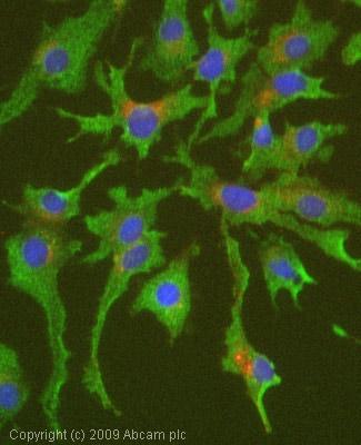Immunocytochemistry/ Immunofluorescence - Anti-Protein C antibody [6B2] (ab36407)
