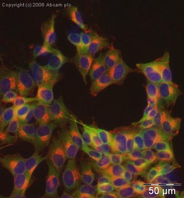 Immunocytochemistry/ Immunofluorescence - Anti-RGS2 antibody (ab36561)