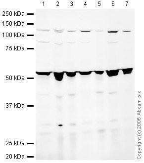 Western blot - Anti-Reptin/TIP49B/RUVB2 antibody (ab36569)