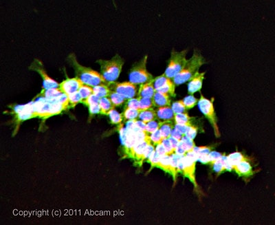 Immunocytochemistry/ Immunofluorescence - Anti-SCRIBBLE antibody (ab36708)