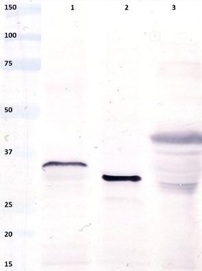Western blot - Anti-Gliadin antibody [14D5] (ab36729)