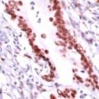 Immunohistochemistry (Formalin/PFA-fixed paraffin-embedded sections) - Anti-RCC1 antibody (ab36760)