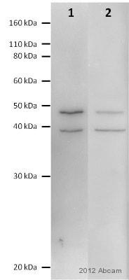 Western blot - Anti-eIF3e antibody (ab36766)
