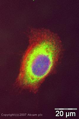 Immunocytochemistry/ Immunofluorescence - Anti-eIF3e antibody (ab36766)