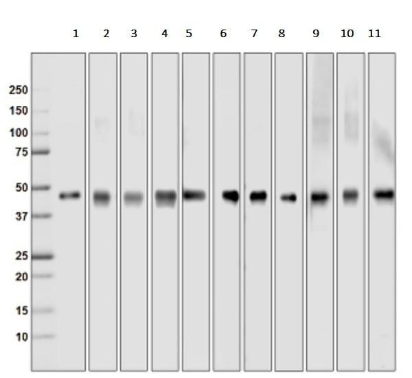 Western blot - Recombinant <em>E. coli </em> Multi Tag protein (ab36791)