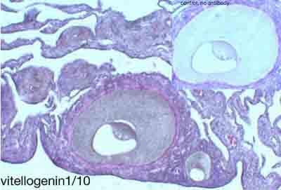 Immunohistochemistry (Formalin/PFA-fixed paraffin-embedded sections) - Anti-Vitellogenin antibody [ND-3G6] (ab36794)