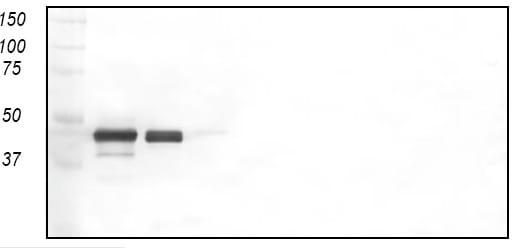 Western blot - Anti-zona radiata antibody [MN-7F2] (ab36802)