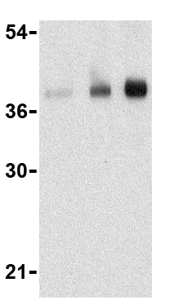 Western blot - Anti-CTRP5 antibody (ab36893)