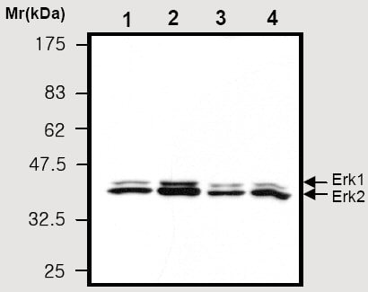 Western blot - Anti-ERK1 + ERK2 antibody [9B3] (ab36991)