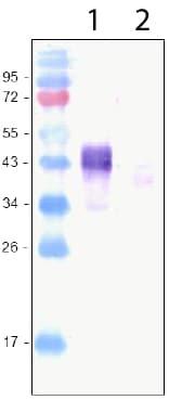 Western blot - Anti-LYVE1 antibody (ab36993)