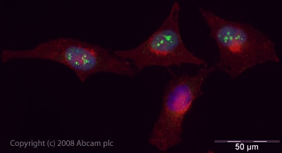 Immunocytochemistry/ Immunofluorescence - Anti-SNF2L antibody (ab37003)