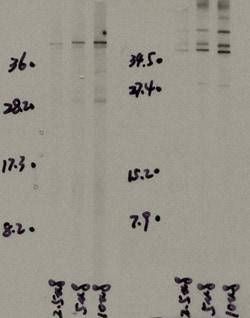 Western blot - Anti-IL32 antibody (ab37158)