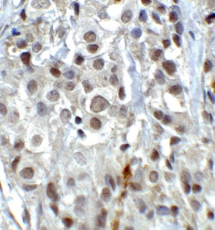 Immunohistochemistry (Formalin/PFA-fixed paraffin-embedded sections) - Anti-KDM1 / LSD1 antibody (ab37165)