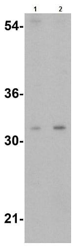 Western blot - Anti-TWEAK antibody (ab37170)