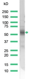 Western blot - Anti-CD2 antibody (ab37212)