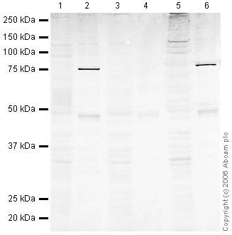 Western blot - Human Chk2 peptide (ab37237)