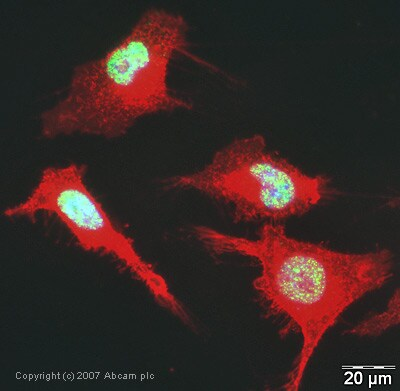 Immunocytochemistry/ Immunofluorescence - Anti-U2AF65 antibody (ab37483)