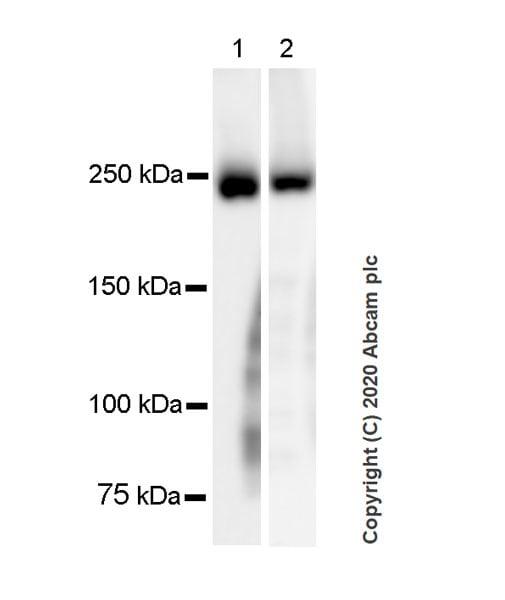 Western blot - Anti-Myosin antibody [A4.1025] (ab37484)