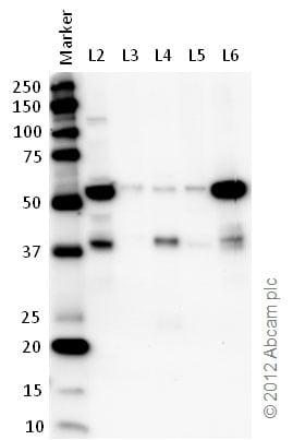 Western blot - Anti-U2AF65 antibody (ab37530)
