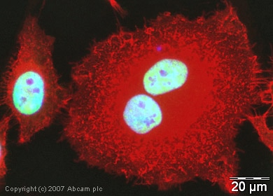 Immunocytochemistry/ Immunofluorescence - Anti-U2AF65 antibody (ab37530)
