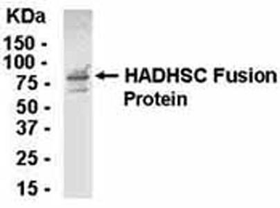 Western blot - Anti-HADH antibody (ab37673)