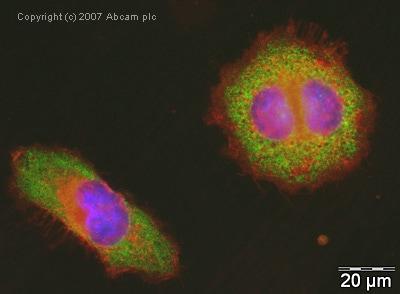 Immunocytochemistry/ Immunofluorescence - Anti-eEF1A1+eEF1A2+eEF1AL3 antibody (ab37969)