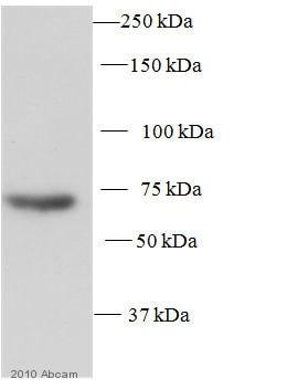 Western blot - Anti-SPHK2 antibody (ab37977)
