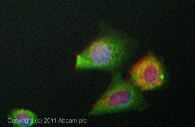Immunocytochemistry/ Immunofluorescence - Anti-PGK1 antibody (ab38007)