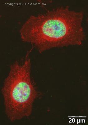 Immunocytochemistry/ Immunofluorescence - Anti-SF2 antibody (ab38017)