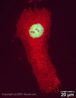 Immunocytochemistry/ Immunofluorescence - Anti-RbAp48 antibody (ab38135)