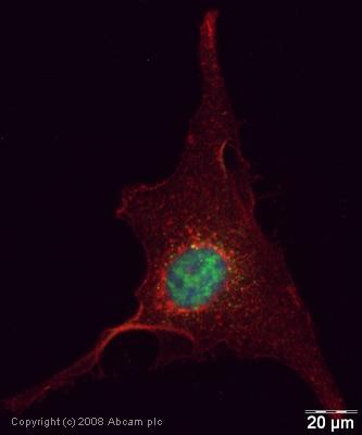 Immunocytochemistry/ Immunofluorescence - Anti-SFPQ antibody (ab38148)