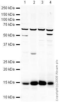 Western blot - Anti-Galectin 1 antibody (ab38328)