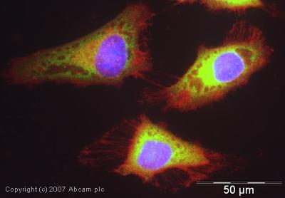 Immunocytochemistry/ Immunofluorescence - Anti-eIF4B antibody (ab38359)